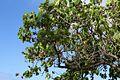 Kukui Tree Closeup.jpg