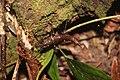 Kumbang Rove, Pegunungan Mugajah, Aceh.jpg