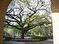 LSU Oak.jpg