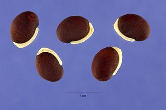 Lablab - Image: Lablab purpureus Steve Hurst 1