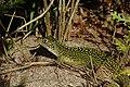 Lacerta viridis 06.JPG