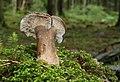 Lactarius picinus old form.jpg