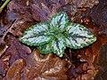 Lamium galeobdolon argentatum 108894959.jpg
