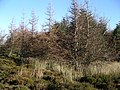 Larches, Cardrona Forest - geograph.org.uk - 79657.jpg