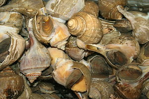 Conch - A group of large eastern conchs or whelks of the species Busycotypus canaliculatus for sale at a California seafood market