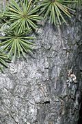 Larix laricina bark.jpg