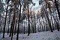 Las Bialoleka Dworska wydma zima.jpg