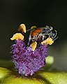 Lasioglossum on Verbascum 1.jpg