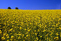 Latham Road Canola Field (Yamhill County, Oregon scenic images) (yamDA0049).jpg