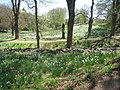 Laurel Ridge Foundation Narcissus Plantings - IMG 6452.JPG