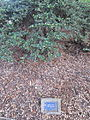 Laurelhurst Park, Portland - Japanese Holly 2012.JPG