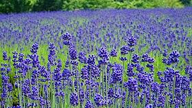 Lavender field in Misato Town, Akita 20180624e.jpg