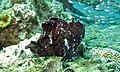 Leaf Scorpionfish (Taenianotus triacanthus) (6088406231).jpg
