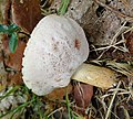 Leccinum species possibly - Flickr - gailhampshire (2).jpg