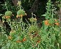 Leonotis nepetifolia (Deepmal) in Narshapur, AP W IMG 1165.jpg