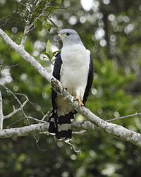 Leptodon cayannensis - Gray-headed kite.JPG