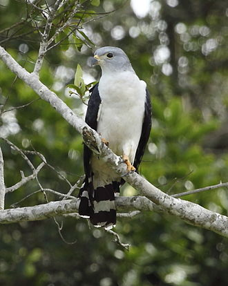 Gray-headed kite - Adult at Restinga de Bertioga State Park in São Paulo state, Brazil