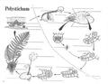 Leptosporangiate Fern Life Cycle.pdf