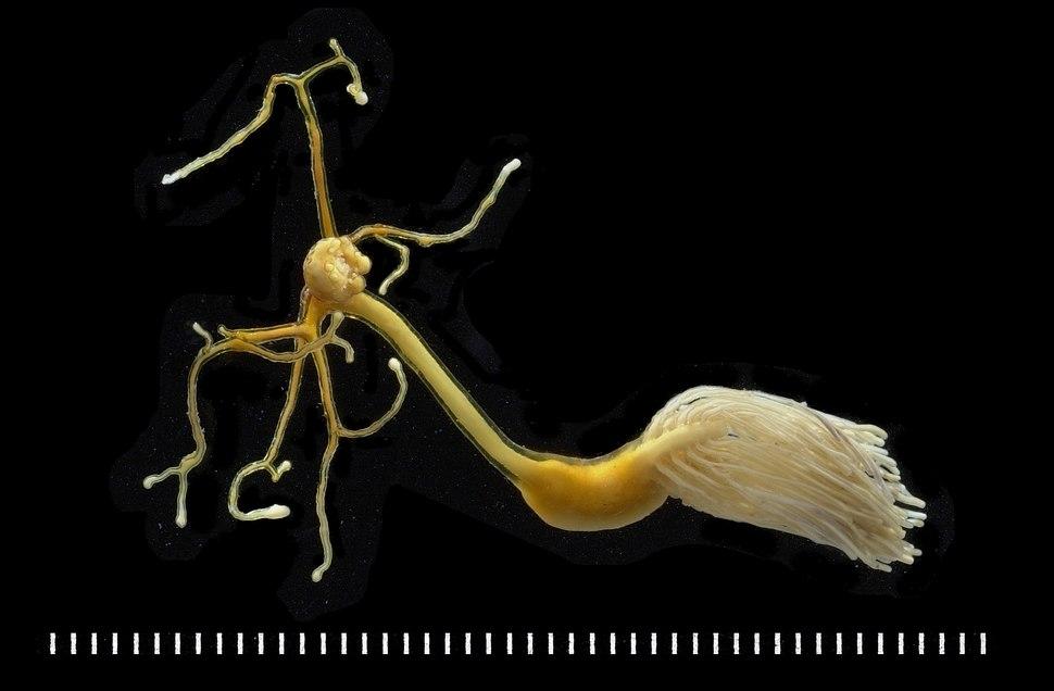 Lernaeolophus sultanus on Pristipomoides filamentosus New Caledonia