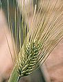 Les Plantes Cultivades. Cereals. Imatge 116.jpg