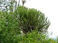 Lesser Candelabra-tree (Euphorbia cooperi) (11544951045).jpg