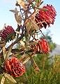 Leucadendron conicum 31108890.jpg