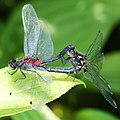 Leucorrhinia dubia (mating s2).jpg