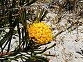 Leucospermum hypophyllocarpodendron subs canaliculatum flower.JPG
