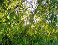 Liście leaves Salix.jpg