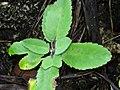 Life plant (Bryophyllum pinnatum) leaves.jpg
