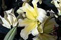 Lilium Conca dOr 3zz.jpg