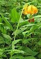 Lilium columbianum RF.jpg