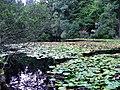 Lily pond - geograph.org.uk - 247340.jpg