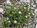 Linanthus nuttallii var pubescens 2.jpg