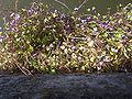 LinariaCymbalaria-plant-hr.jpg