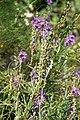 Linaria purpurea A.jpg