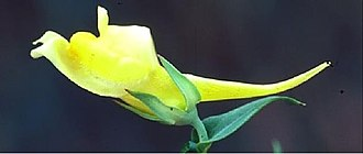 Meristem - Note the long spur of the above flower. Spurs attract pollinators and confer pollinator specificity. (Flower:Linaria dalmatica)