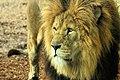 Lion - Whipsnade Zoo (10774232026).jpg