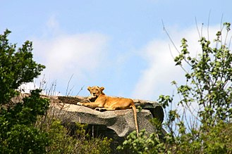 Serengeti - Lioness on a kopje, or rock outcropping