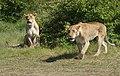 Lionesses, Masai Mara, Kenya.jpg
