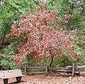 Lithocarpus densiflorus dead2.jpg