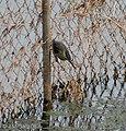 Little Heron I IMG 0558.jpg