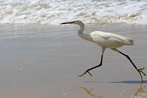 Little egret - Little egret at Varkala beach, Kerala, India