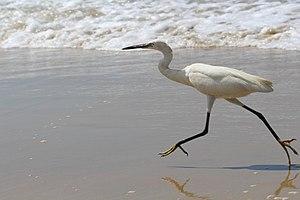 Little egret - Little egret at Varkala beach, Kerala, India