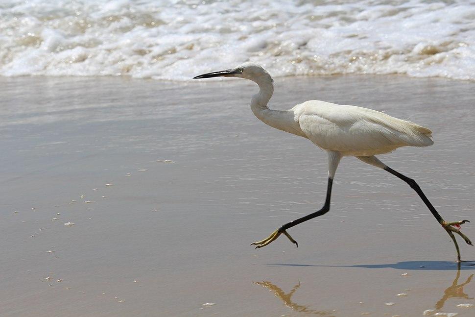Little egret at Varkala beach 11
