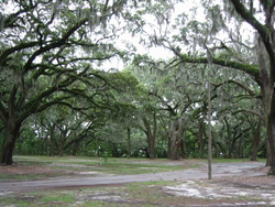 Liveoak,savannah.png