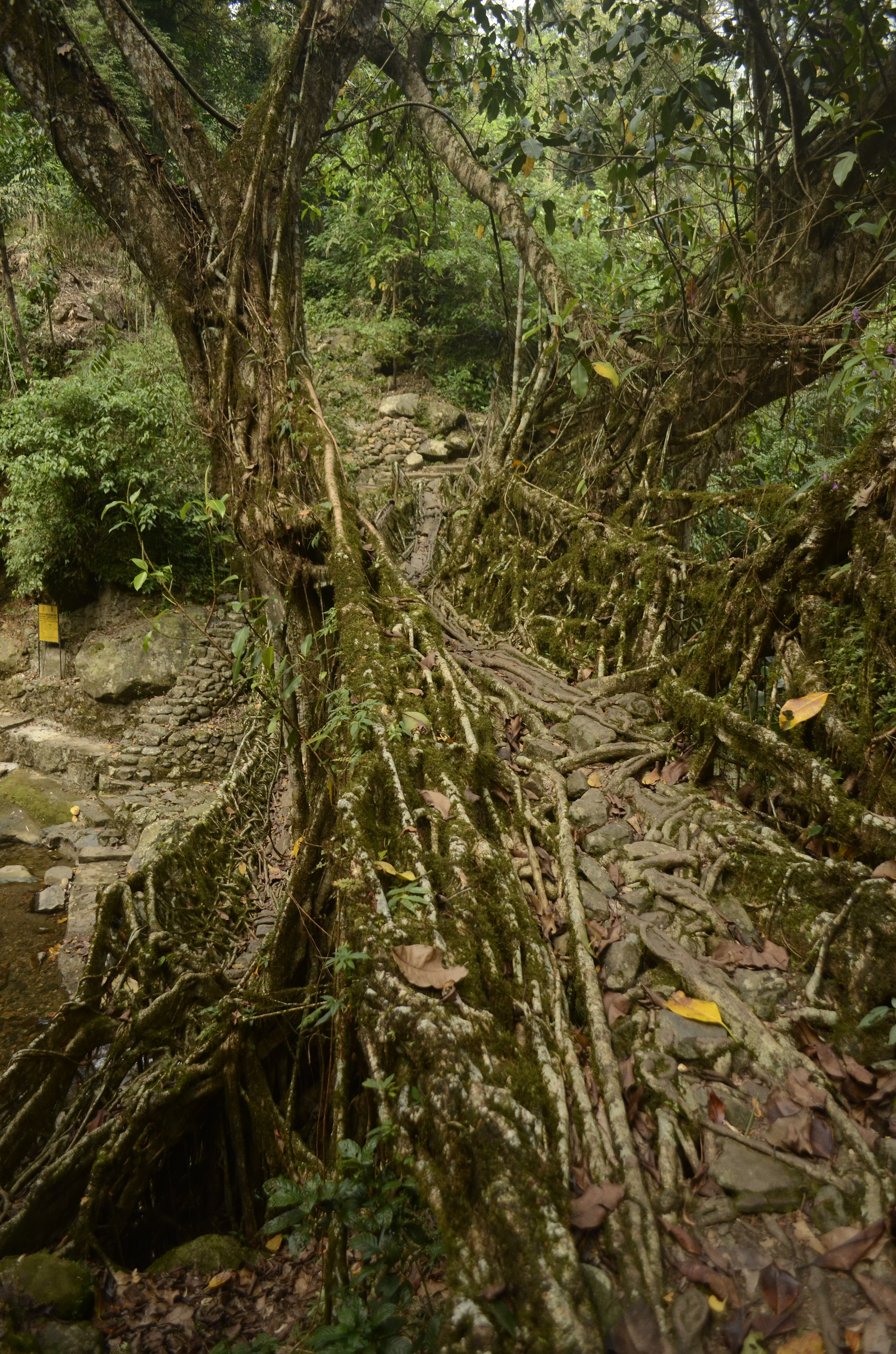 File:Living root bridges of Nongriat village in East Khasi Hills