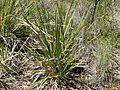 Lomandra longifolia (5085607298).jpg