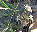 Lomatium nevadense var nevadense 2.jpg