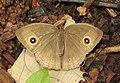 Long-branded Bushrown Mycalesis visala UP by Dr. Raju Kasambe DSCN2274 (3).jpg